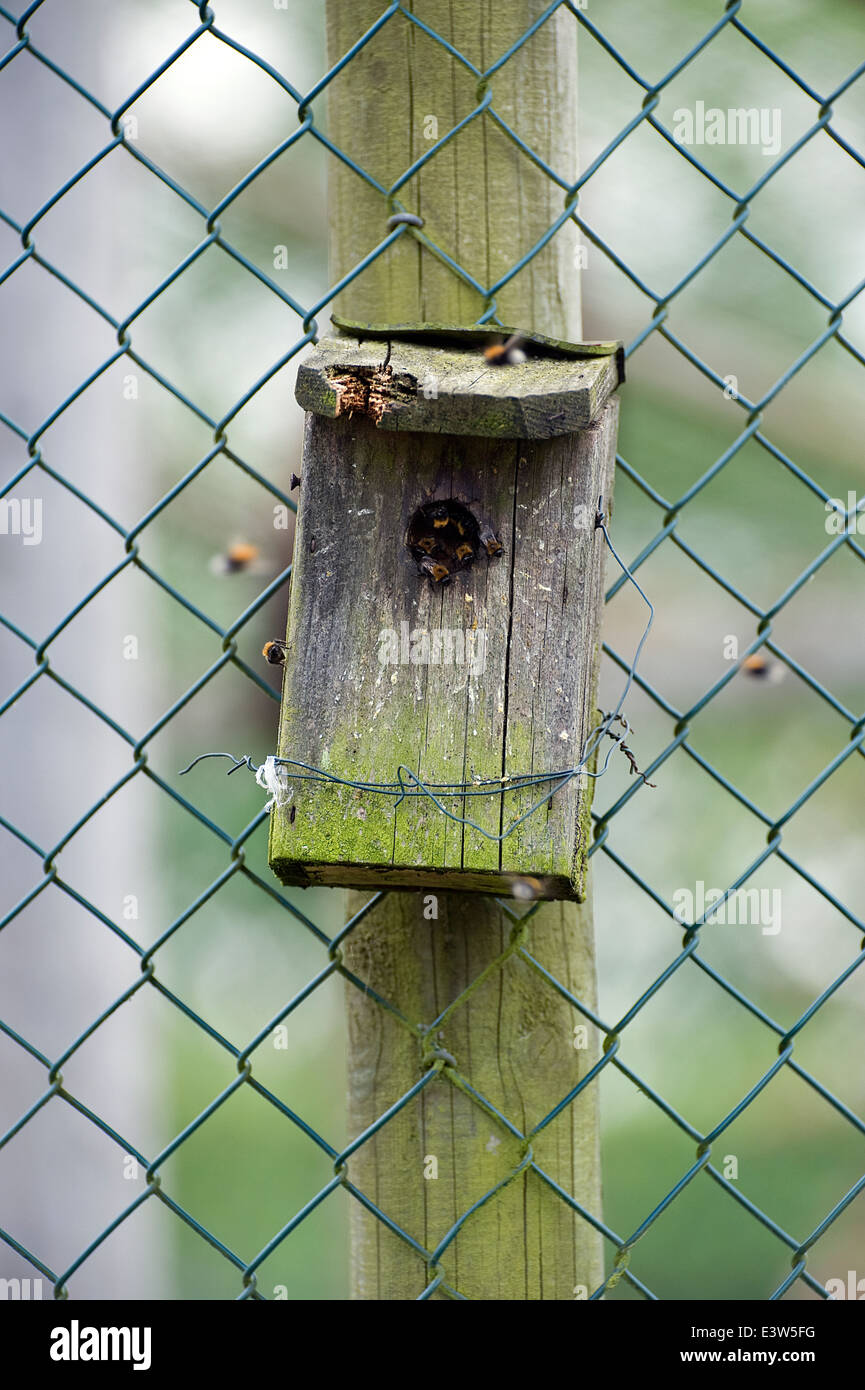 Wild bees swarmed into a bird box - Stock Image