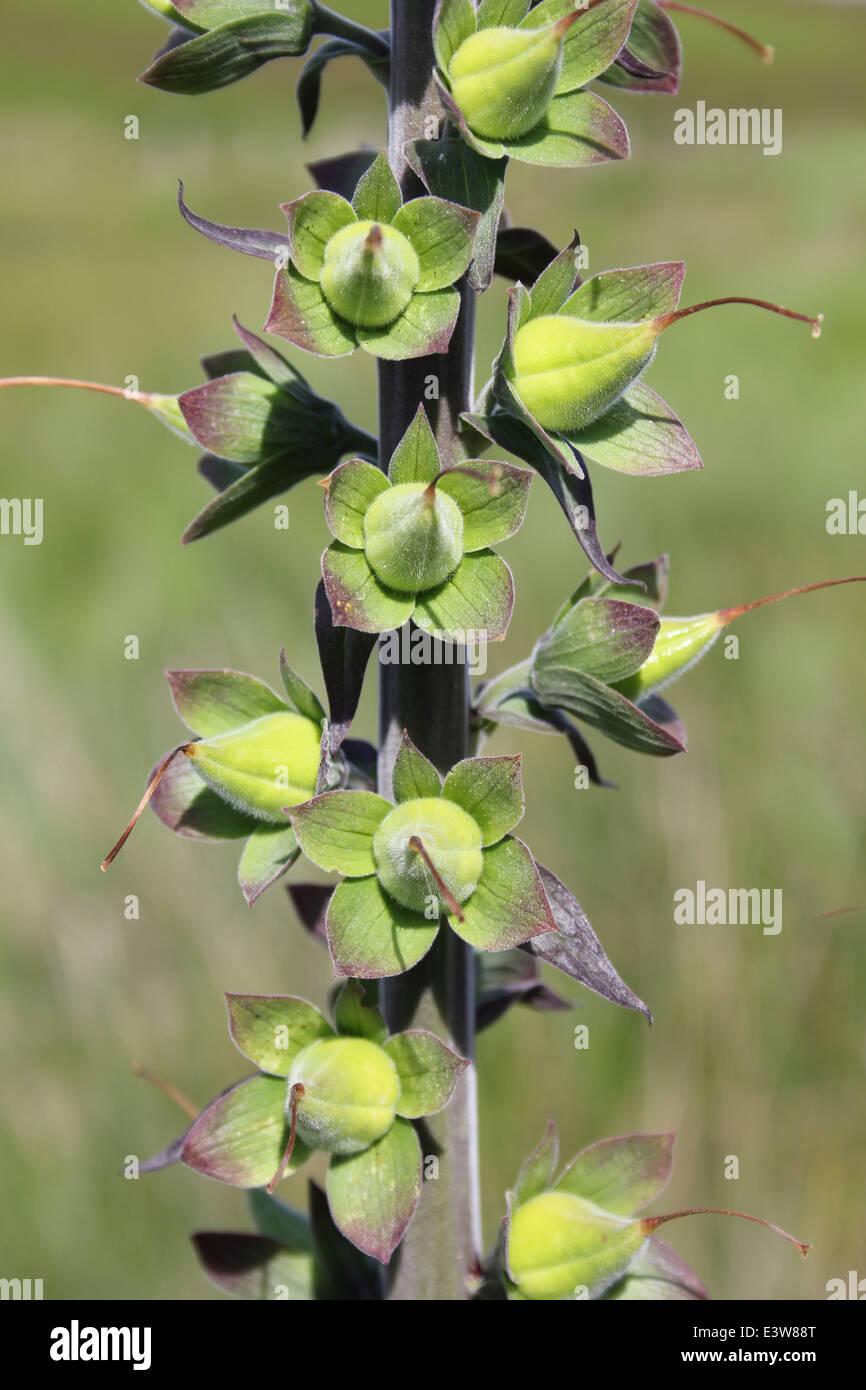 Common Foxglove Digitalis purpurea seedhead - Stock Image