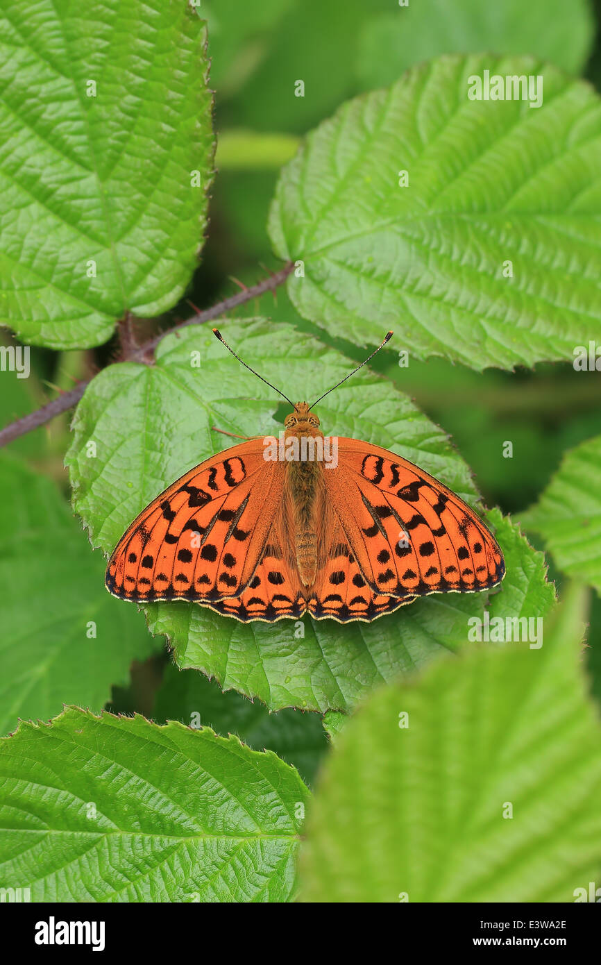 High Brown Fritillary (Argynnis adippe) - Stock Image