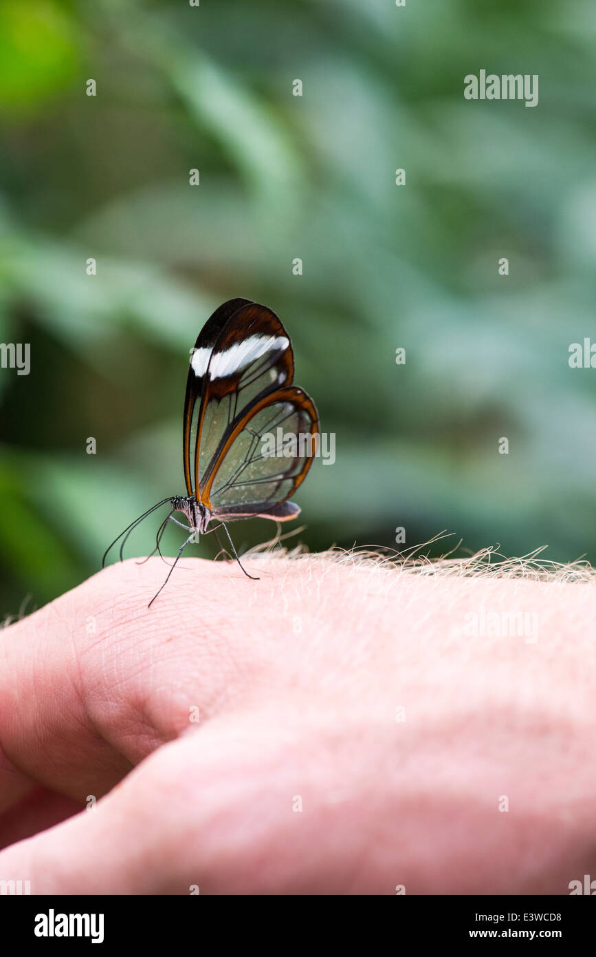 Glass wing butterfly rests on a human hand at London Zoo Stock Photo