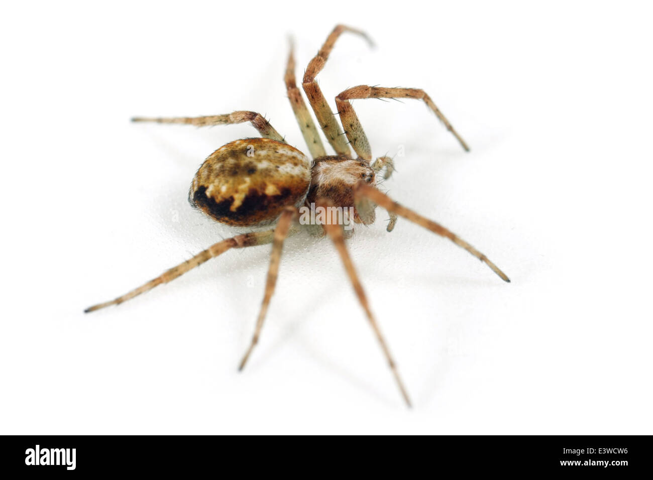 Female Turf running-spider (Philodromus cespitum), part of the family Philodromidae - Running crab spiders. Isolated Stock Photo