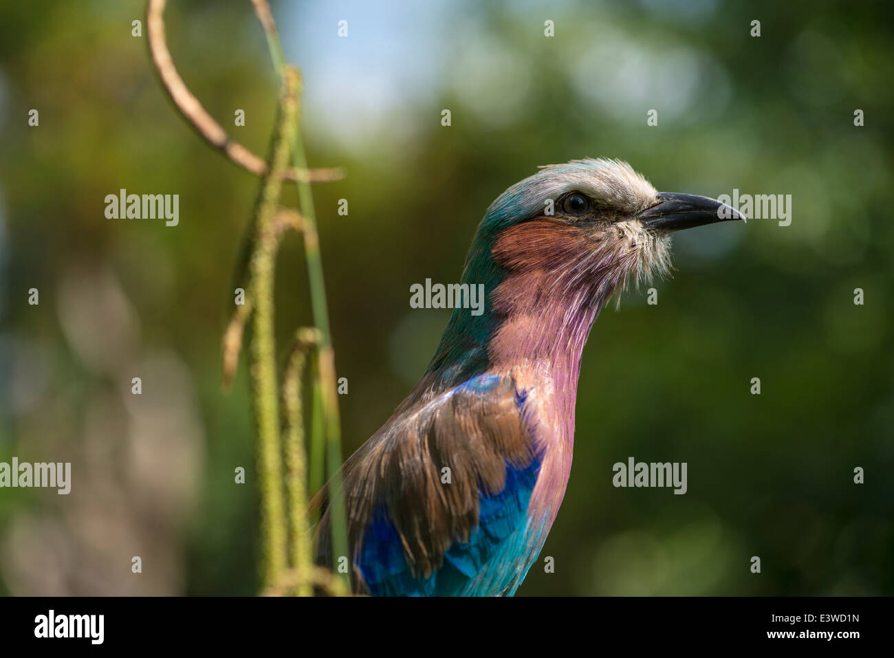 Intrigued lilac-breasted roller perched on a branch amongst the foliage on a sunny day - Stock Image
