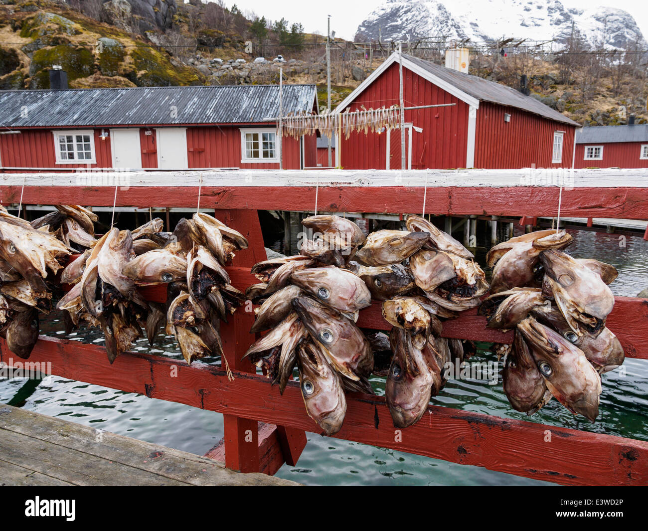 Stockfish (cod) heads are hung up to dry in Nusfjord on the Lofoten islands in Norway. - Stock Image
