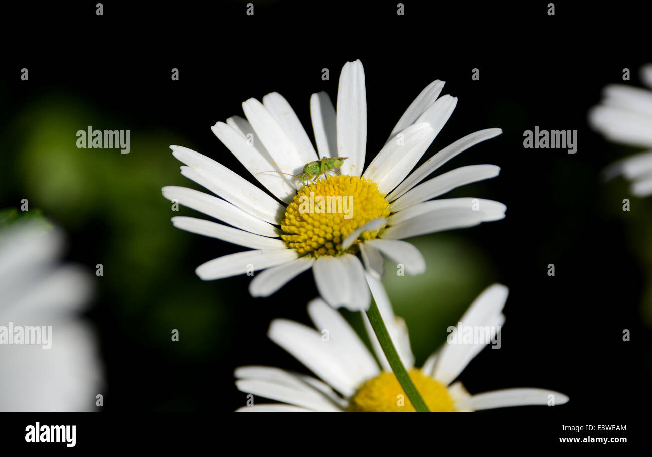 Close-up of a common green capsid bug on the yellow stamen of a daisy flower - Stock Image