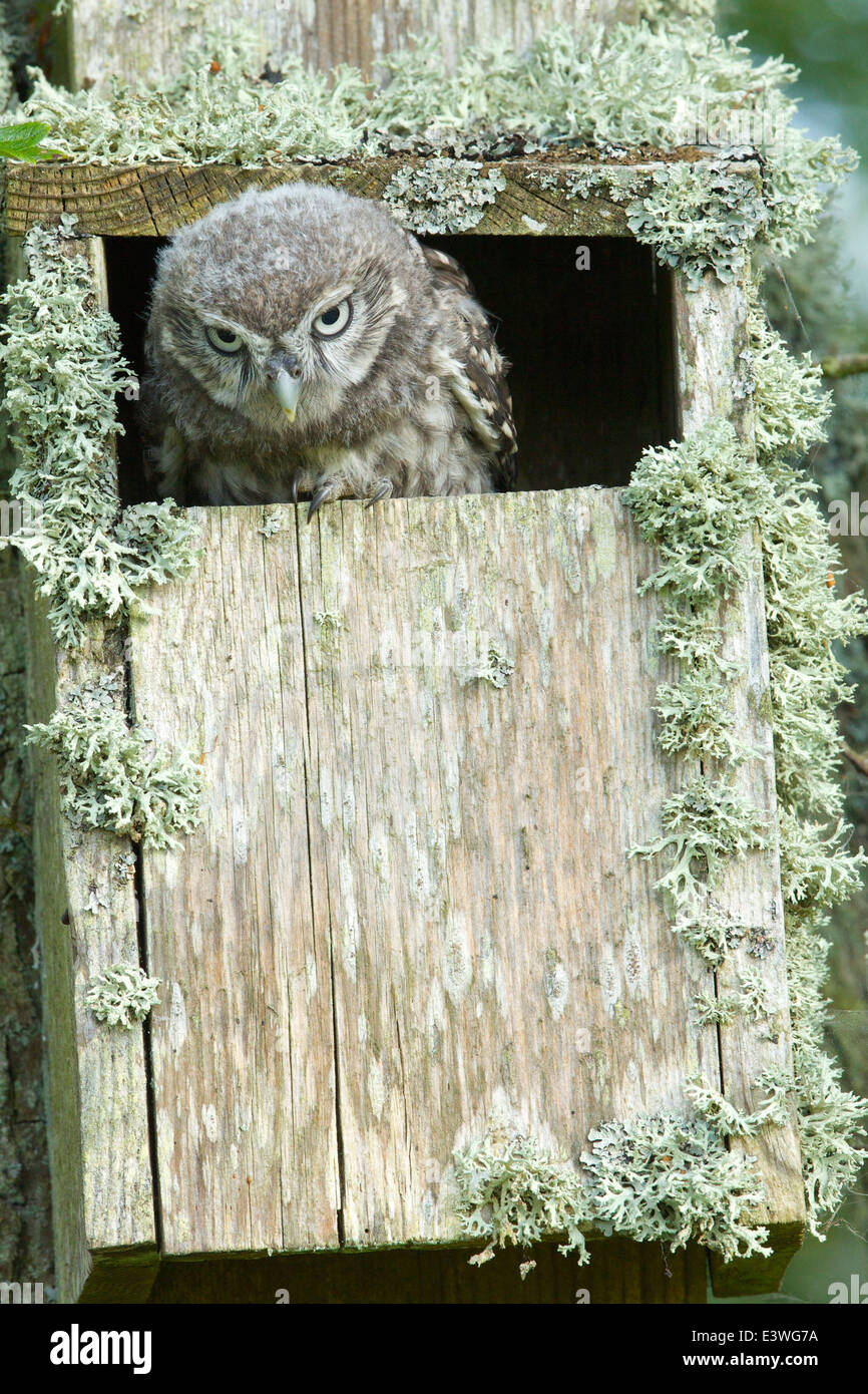 Displaying Little Owl with downy feathers prepares to vacate the Lichen covered nest box on The Hill @ Selkirk #0656 - Stock Image