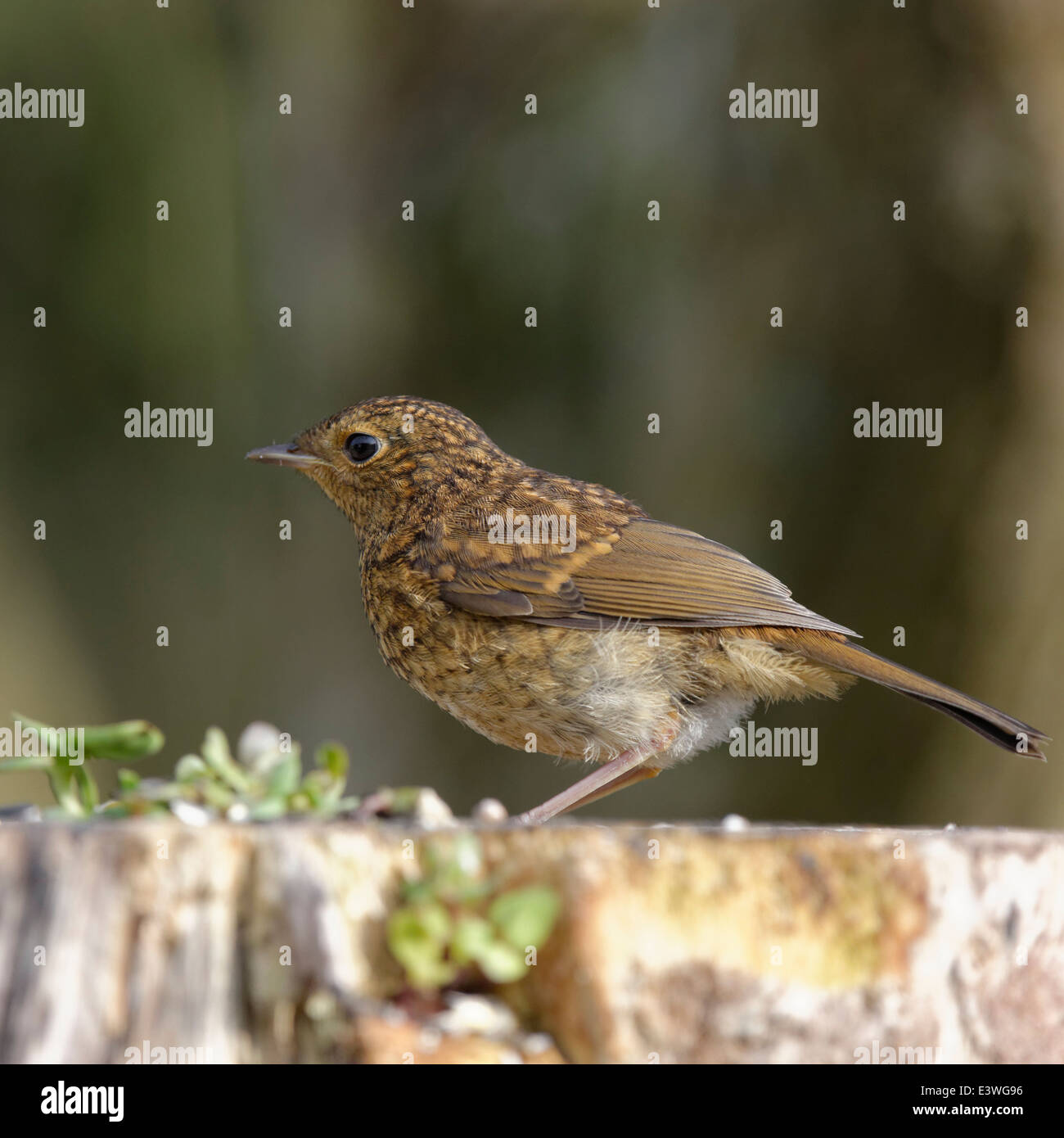Robin Redbreast perched on a tree stump - Stock Image