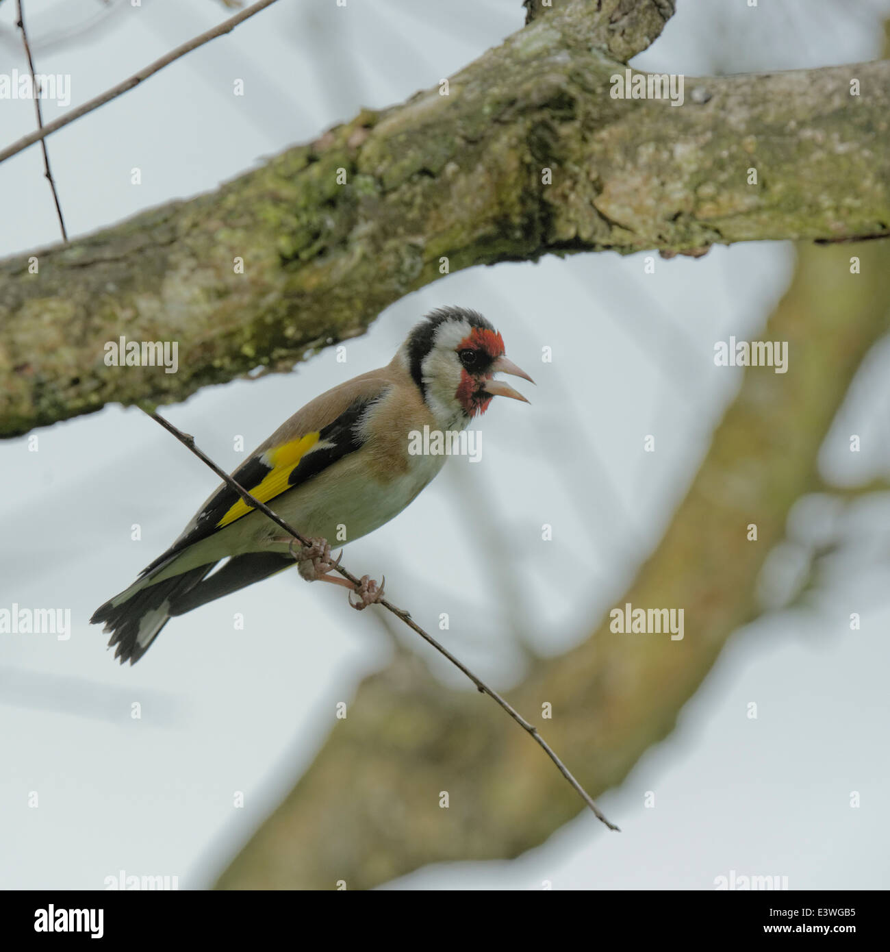 British Garden Birds : A solitary perching goldfinch hoping to find a place on a nyger seed feeder - Stock Image