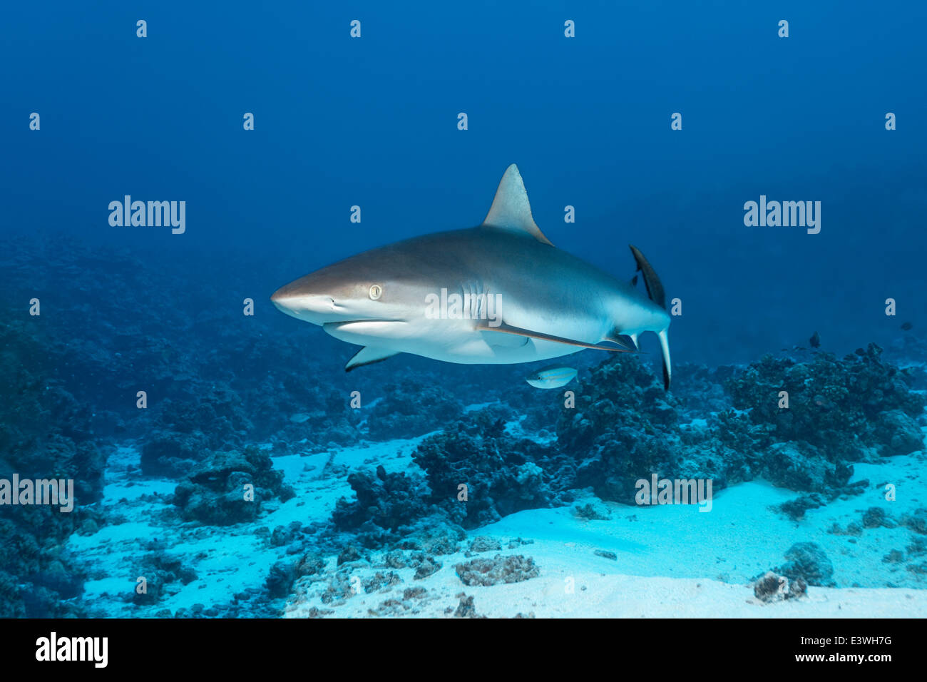 Grey Reef Shark (Carcharhinus amblyrhynchos) over a sandy sea bottom, Bora Bora, Leeward Islands, Society Islands - Stock Image