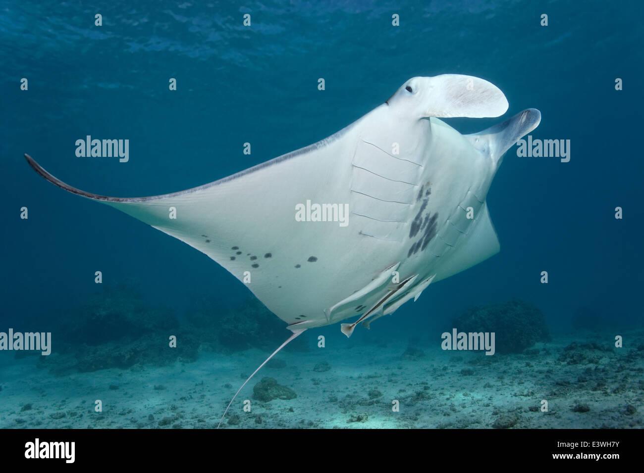 Reef Manta Ray (Manta alfredi) and Live Sharksuckers (Echeneis naucrates), Bora Bora, Leeward Islands, Society Islands Stock Photo