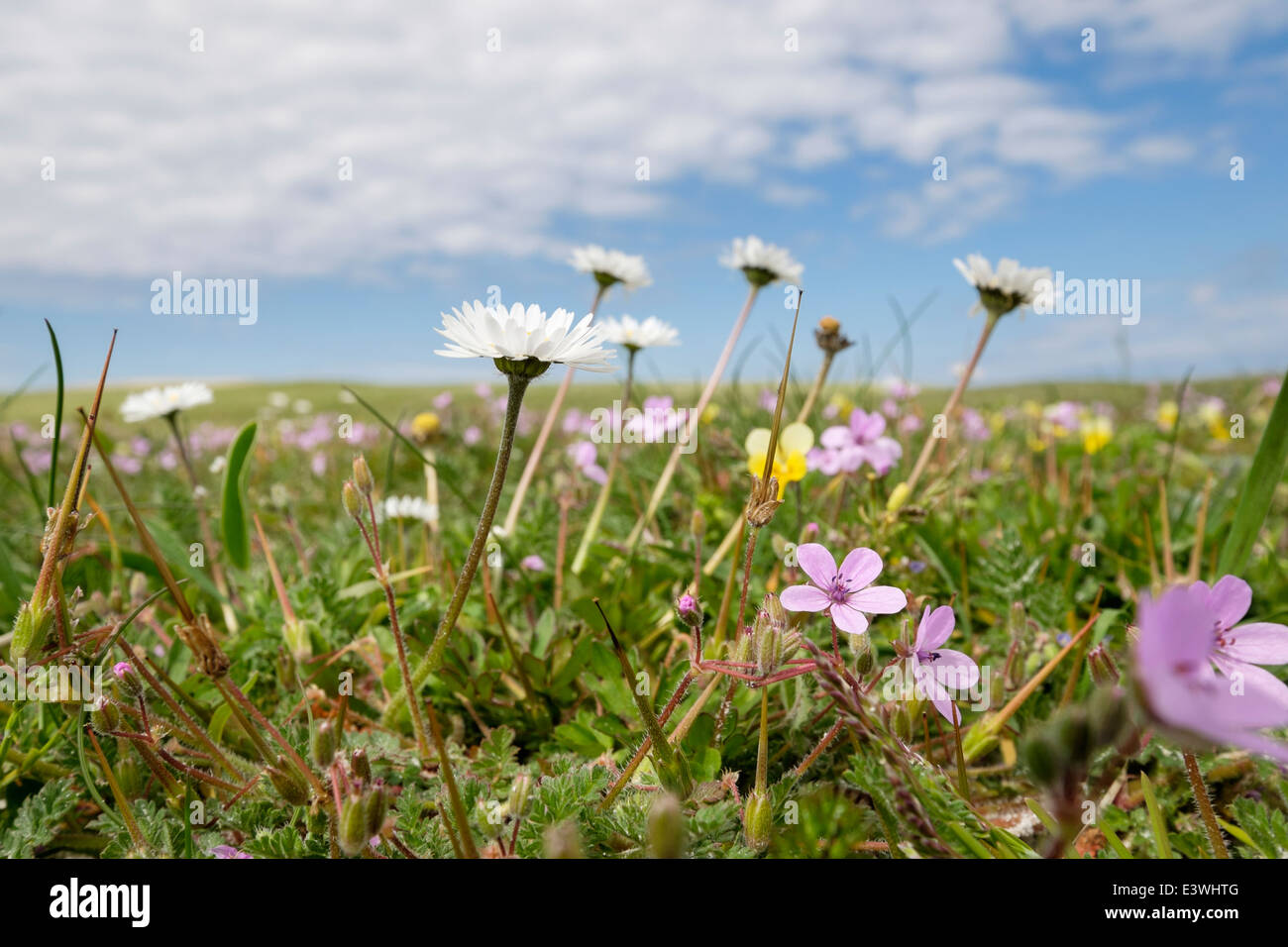 Machair grassland wild flowers growing in summer. Balranald RSPB Nature Reserve North Uist Outer Hebrides Western - Stock Image