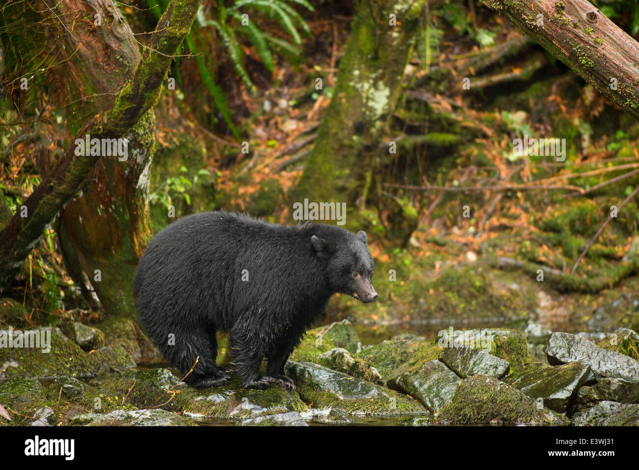 Black bear on rocks fishing for salmon in Thornton Creek Fish Hatchery-Ucluelet, British Columbia, Canada. Stock Photo