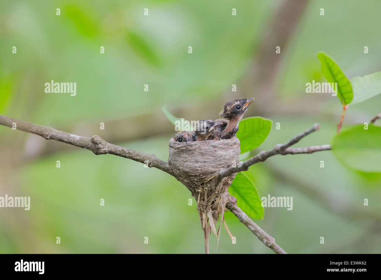 Pied fantail bird nesting with chicks, resting, feeding. - Stock Image