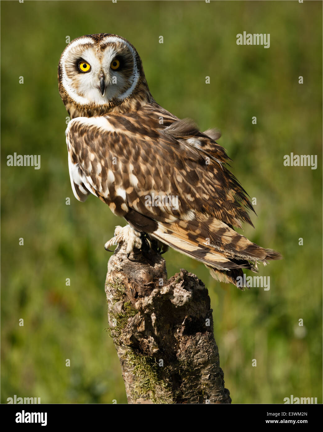 Alert Short-eared Owl Perching On A Fence Post - Stock Image