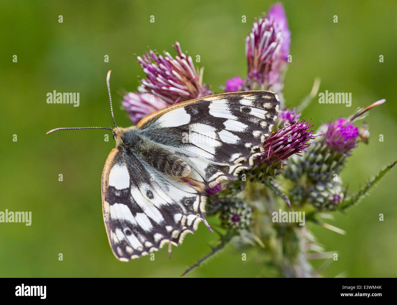 Marbled White butterfly feeding on thistle. Norbury Park, Mickleham, Surrey, England. - Stock Image