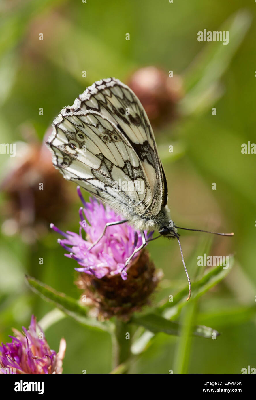 Marbled White butterfly feeding on Knapweed. Norbury Park, Mickleham, Surrey, England. - Stock Image