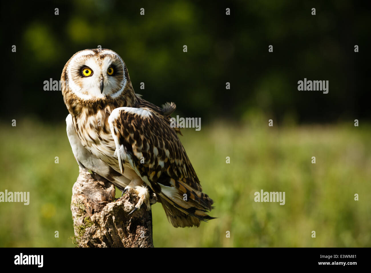 Short-eared Owl Perching On A Fence Post - Stock Image