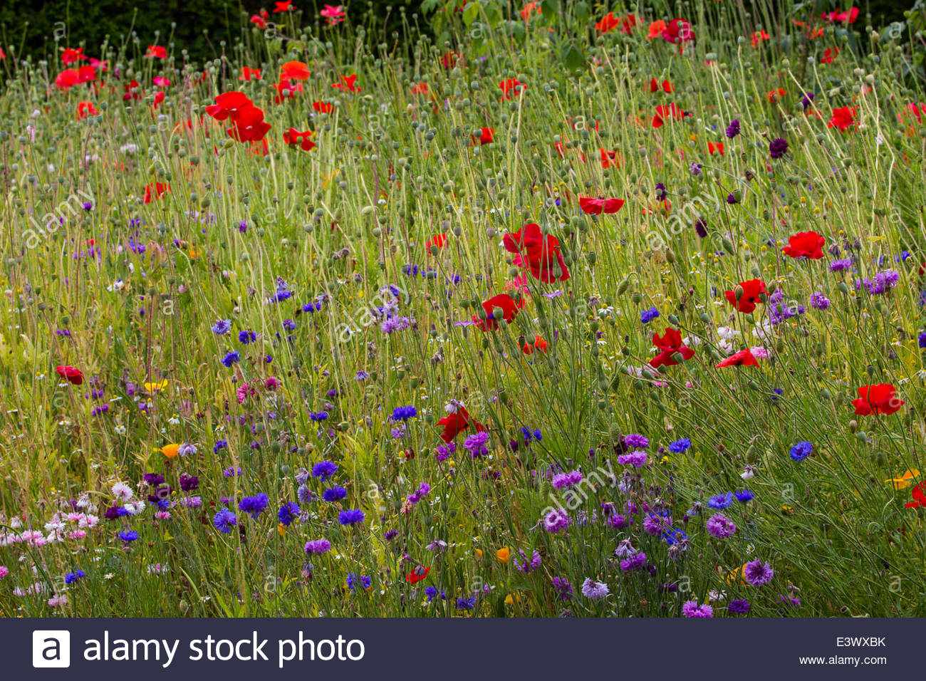 A bee friendly wildflower meadow at RHS Wisley with poppies, cornflowers, grasses and other summer flowering species. - Stock Image