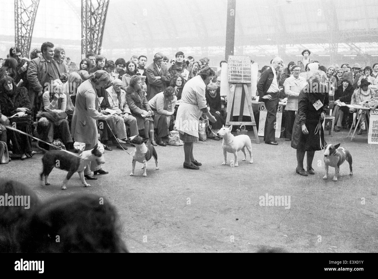 English Bull Terriers at the 1977 Olympia Crufts dog show. - Stock Image