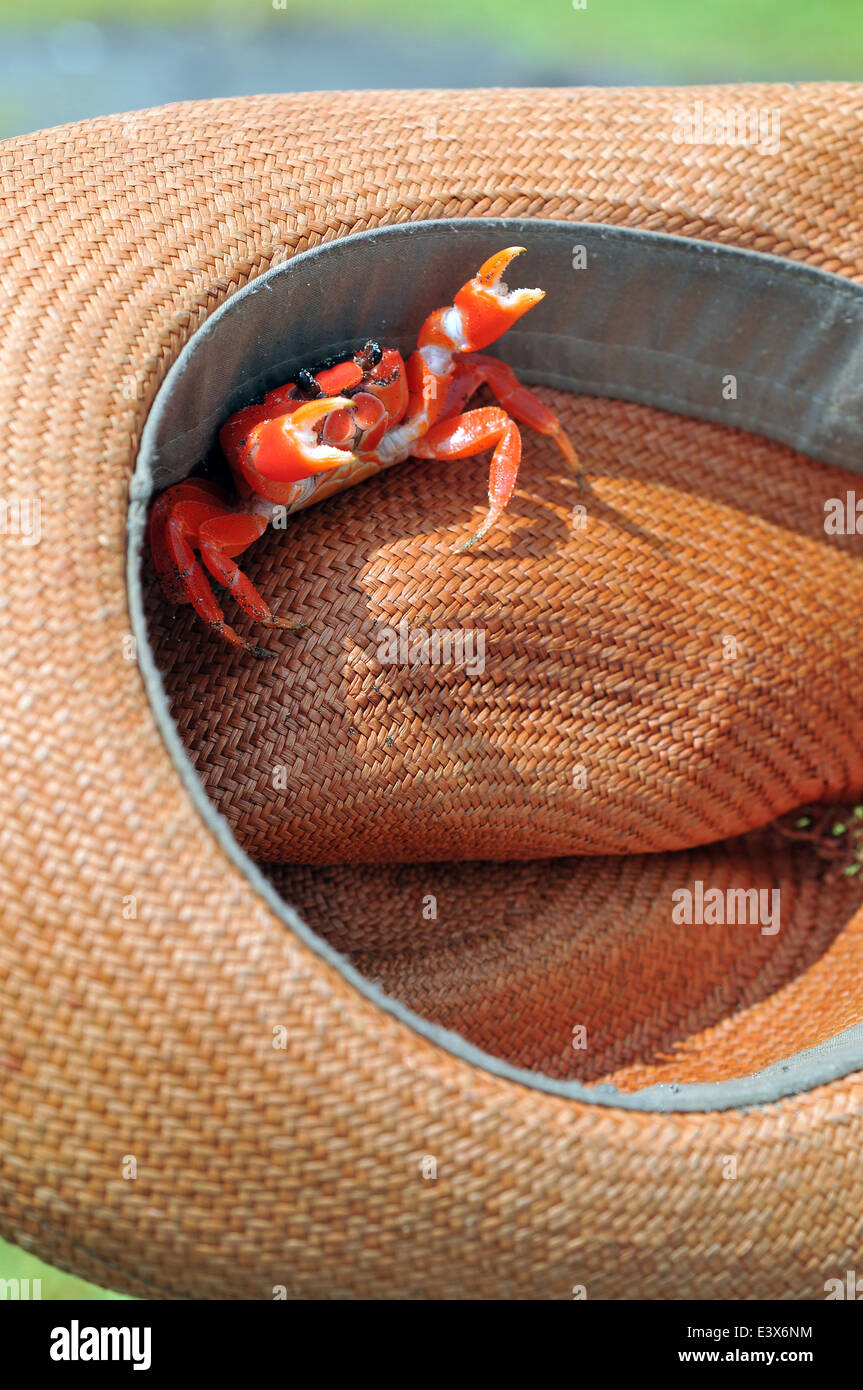 Sally Lightfoot Crab ore Red cliff crab from Galapagos Islands sits in the Ecuadorian panama - Stock Image