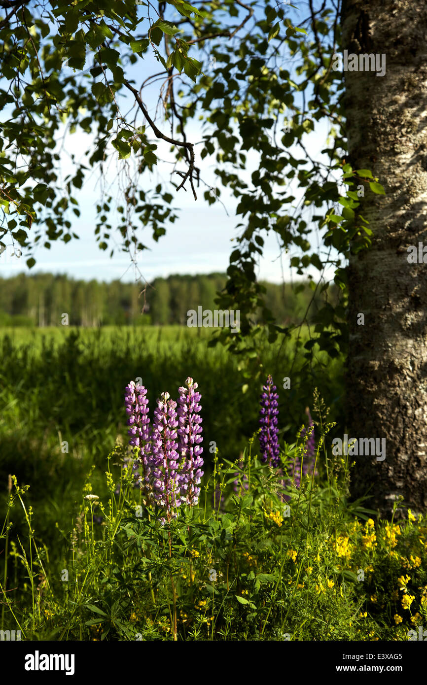A summer roadside scenery with summer wildflowers and birches with green leaves - Stock Image