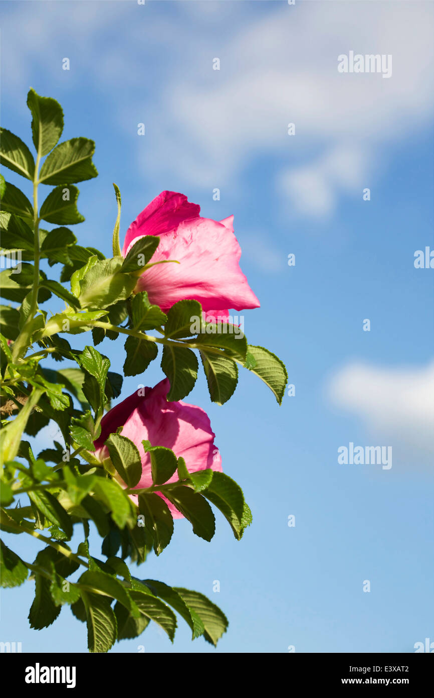 Rose hip bush blooming in June in Finland - Stock Image