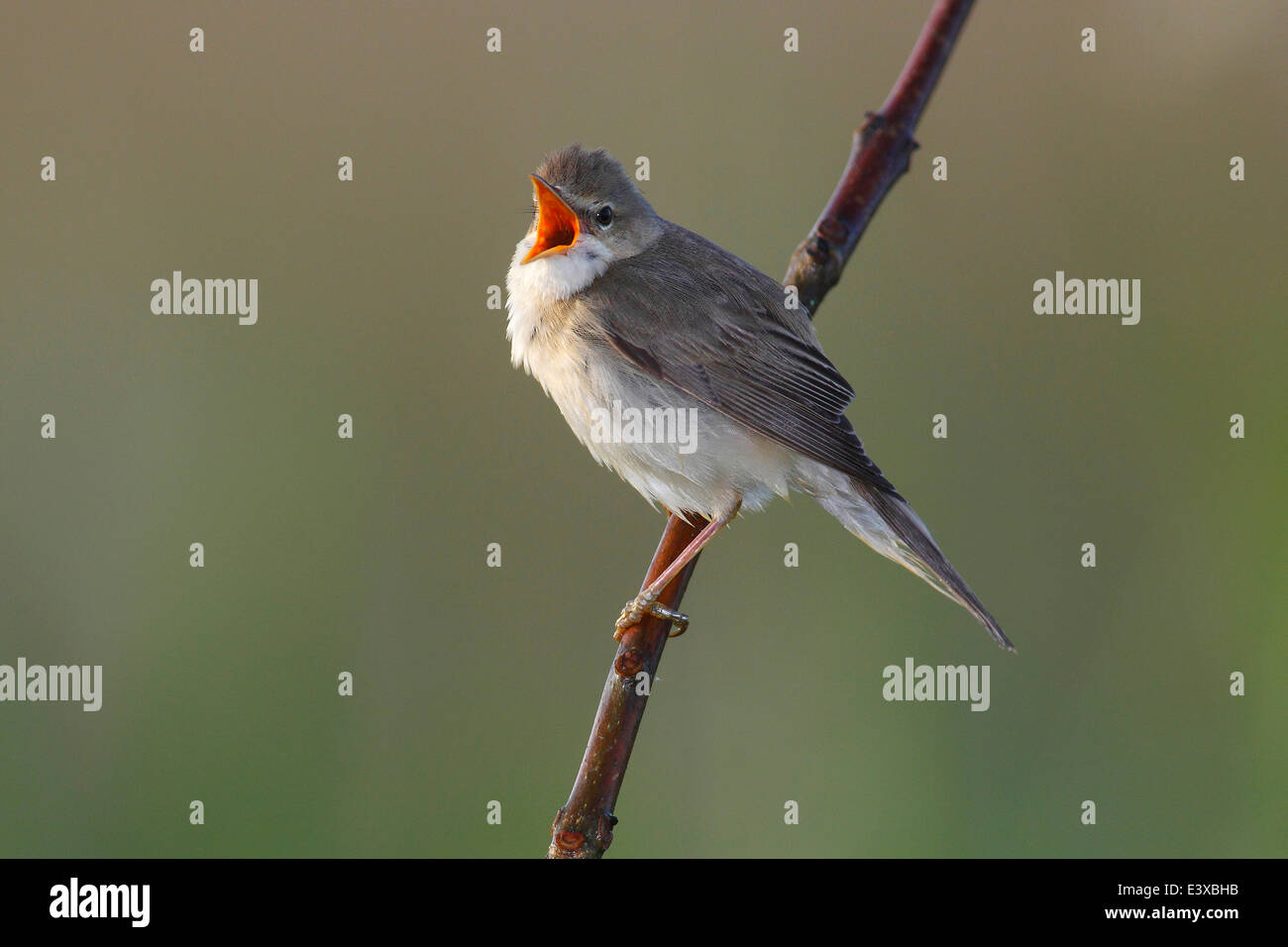 Marsh Warbler (Acrocephalus palustris) singing, perched on a branch, Dümmer Nature Park, Lower Saxony, Germany Stock Photo