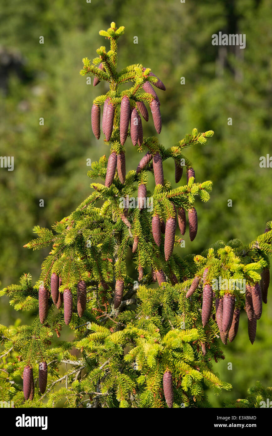Common spruce (Picea abies), young cones, Lower Saxony, Germany - Stock Image
