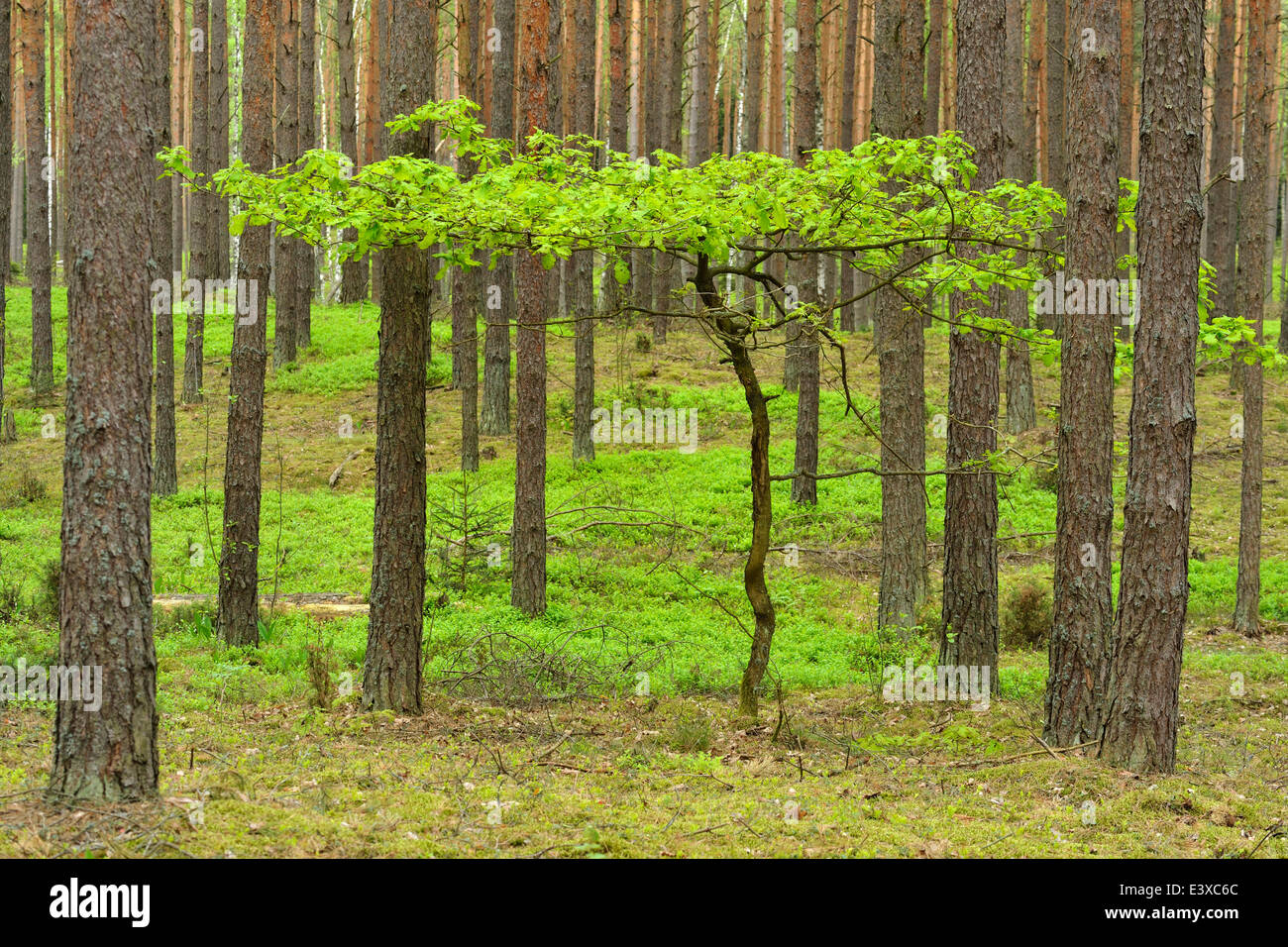 Young Oak tree (Quercus), growing in between Scots Pines (Pinus sylvestris) in a pine forest, Biebrza National Park, - Stock Image