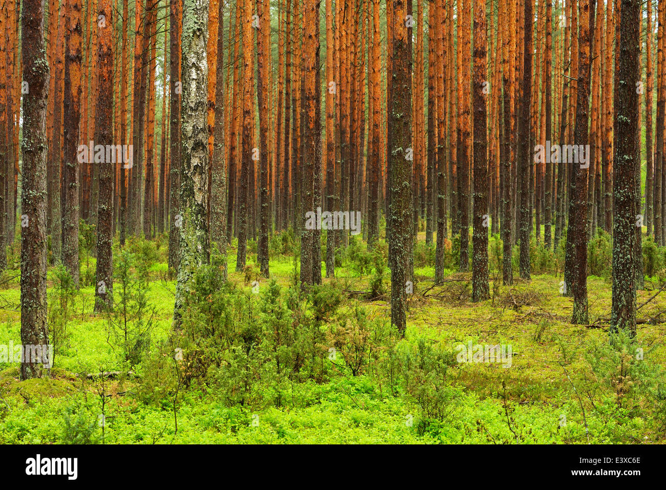 Scots Pines (Pinus sylvestris) in a dense pine forest, Biebrza National Park, Poland - Stock Image