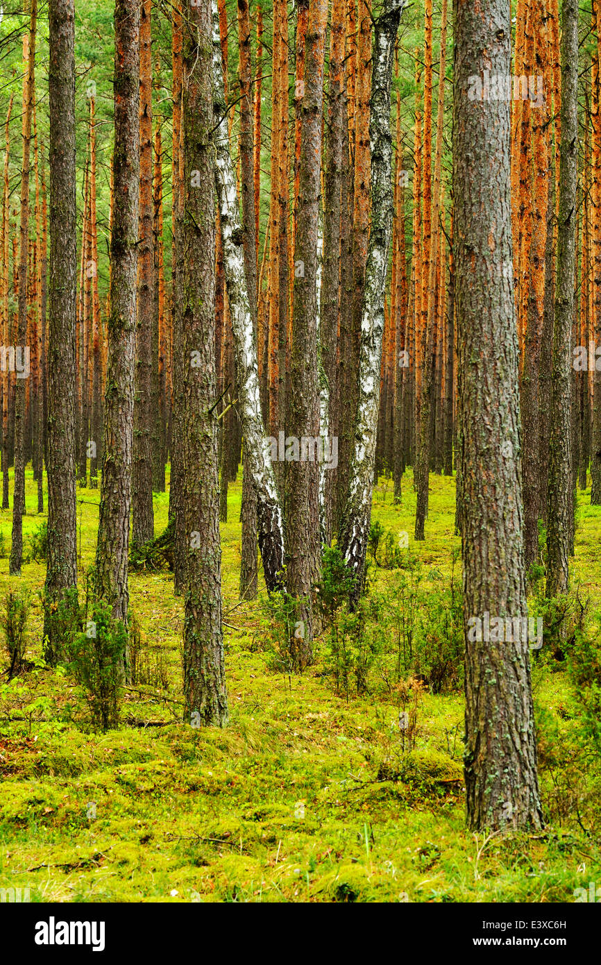 Several Birch trees (Betula) growing in between Scots Pines (Pinus sylvestris) in a pine forest, Biebrza National - Stock Image