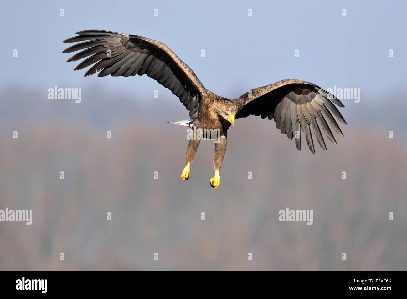 White-tailed Eagle (Haliaeetus albicilla), adult in flight, Łódź Voivodeship, Poland Stock Photo