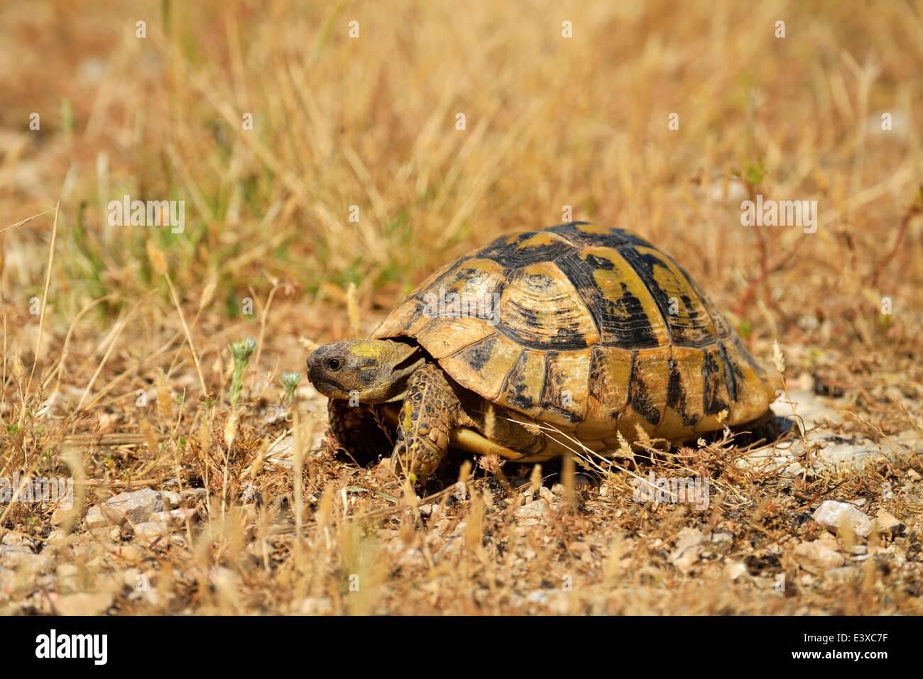 Dalmatian Tortoise (Testudo hermanni hercegovinensis), Dalmatia, Croatia Stock Photo