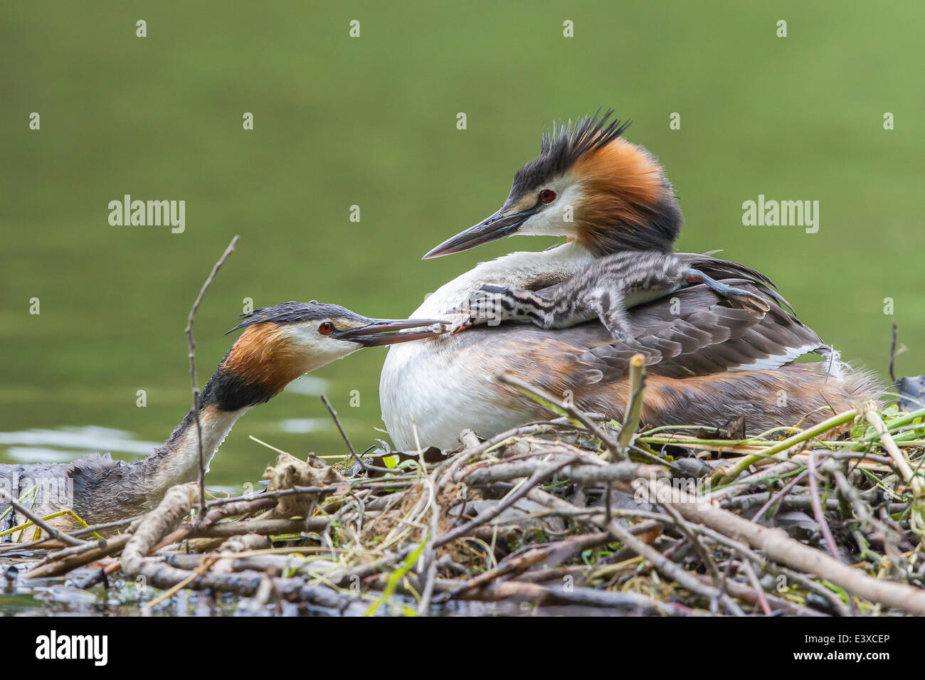 Great Crested Grebes (Podiceps cristatus), feeding chick at the nest, North Hesse, Hesse, Germany - Stock Image