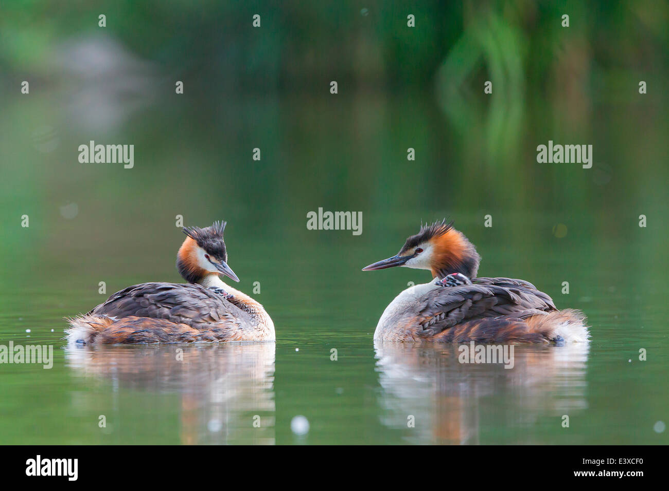 Two Great Crested Grebes (Podiceps cristatus) with chicks in plumage, North Hesse, Hesse, Germany - Stock Image