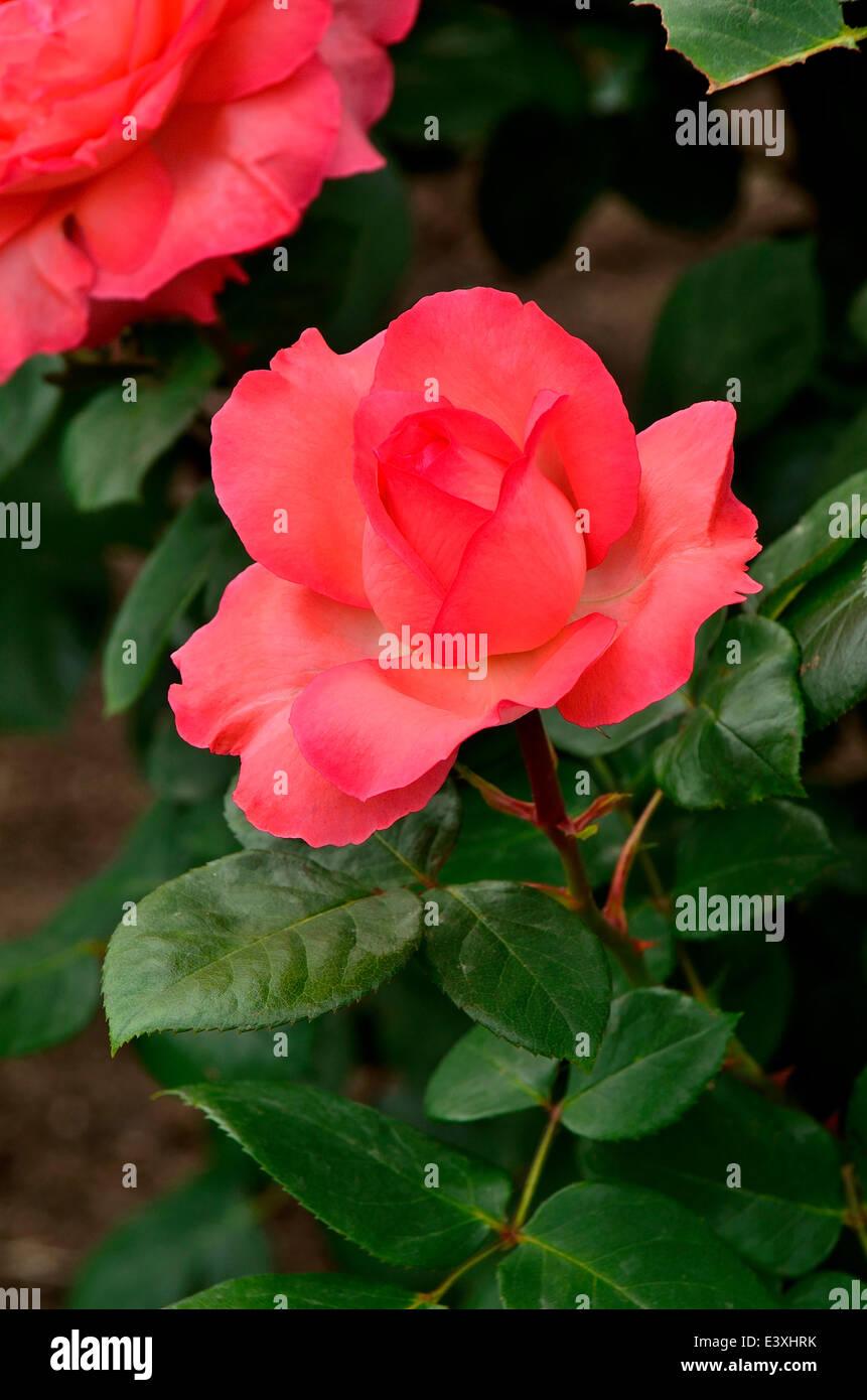 Pink Panther Rose Stock Photos Pink Panther Rose Stock Images Alamy