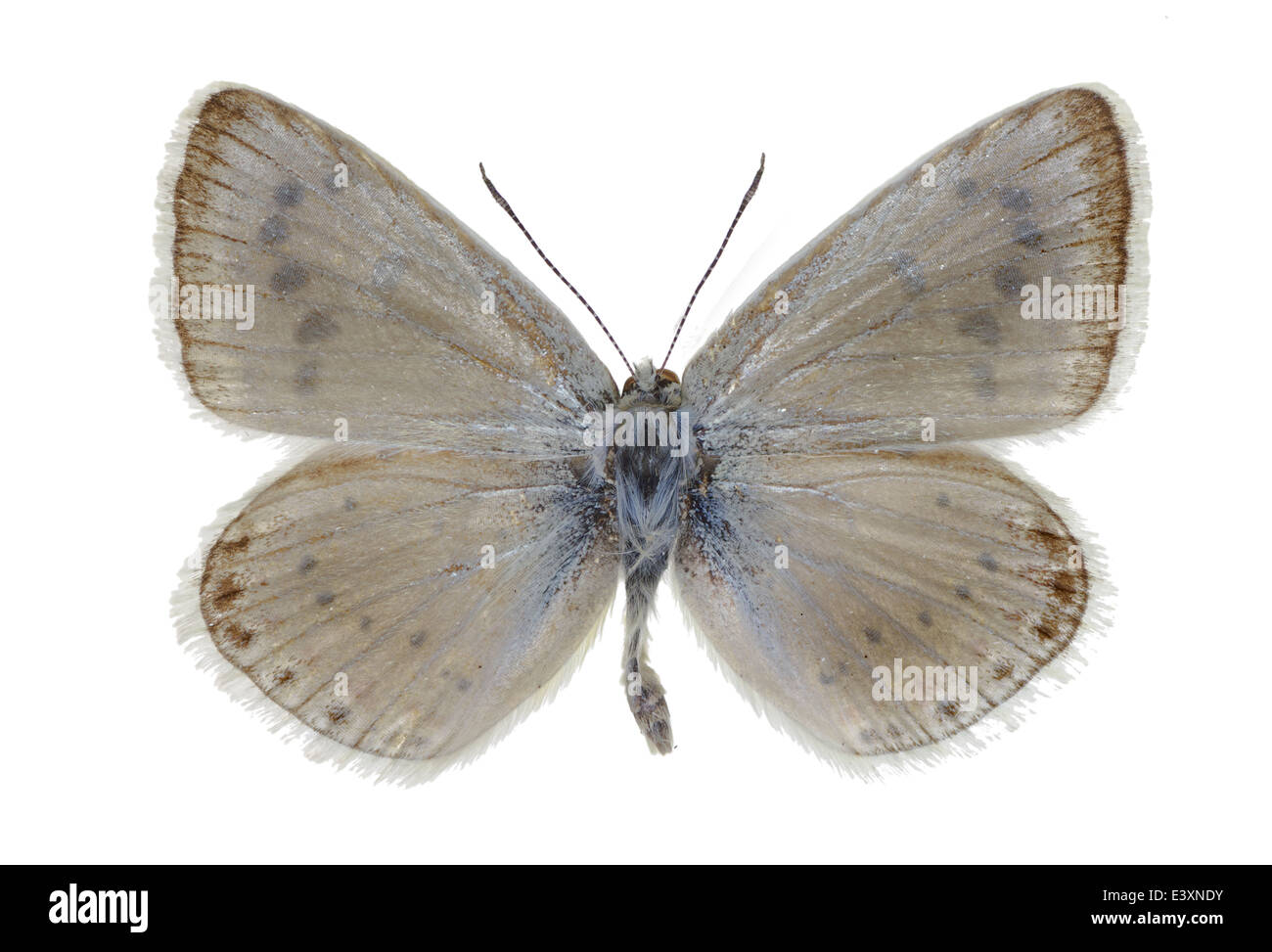 Mother Of Pearl Butterfly Stock Photos Amp Mother Of Pearl
