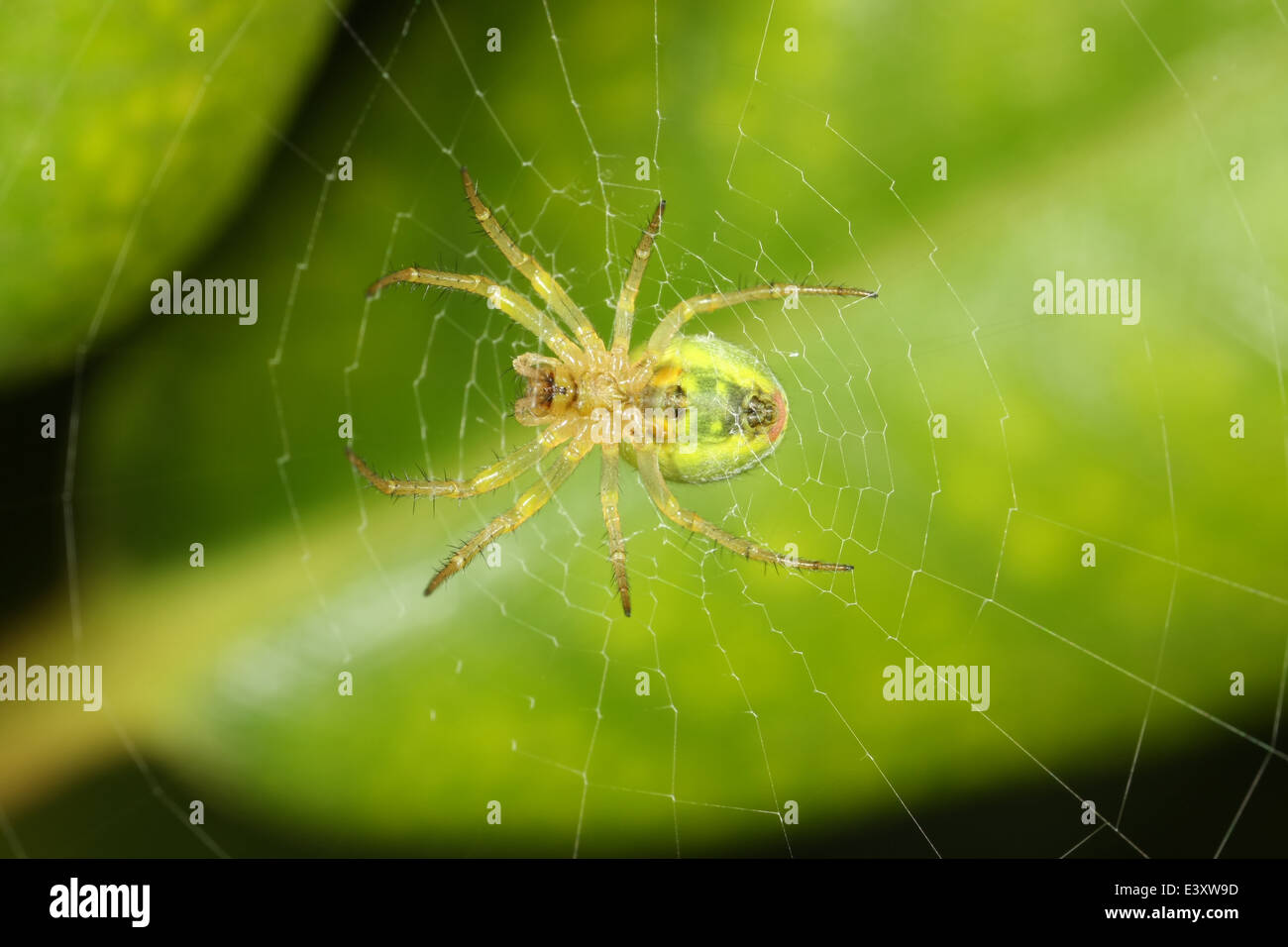 Male Cucumber spider (Araniella cucurbitina), part of the family Araneidae - orbweavers. - Stock Image