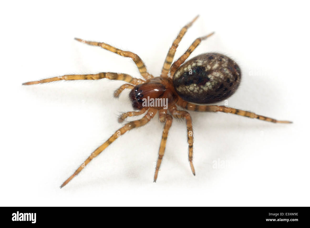 Window lace-weaver (Amaurobius fenestralis) spider, part of the family Amaurobiidae -  Tangled nest spiders. Stock Photo