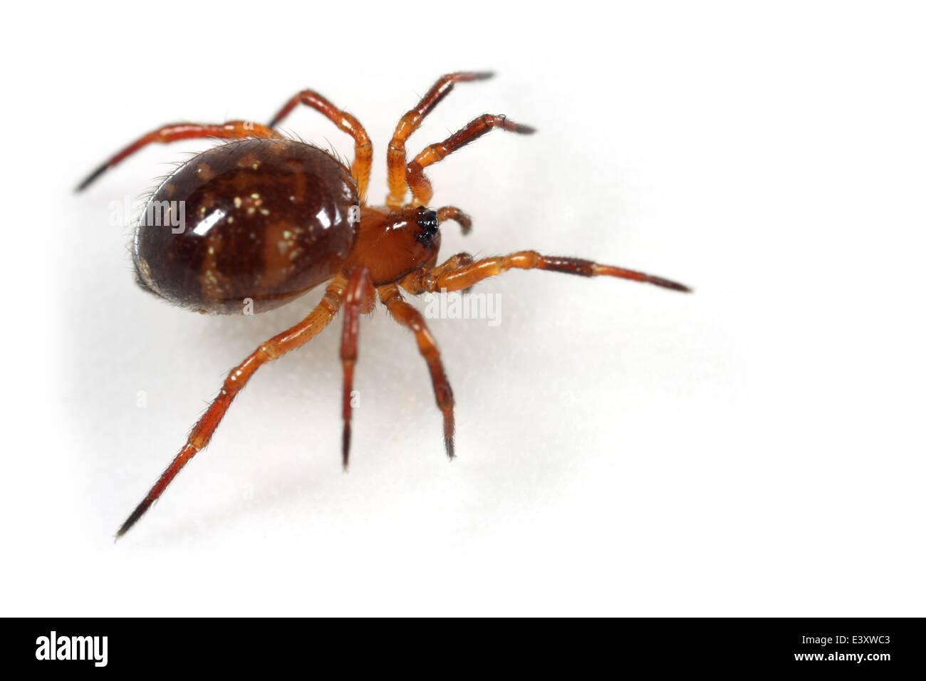 Female Euryopis flavomaculata spider, part of the family Theridiidae - Cobweb weavers. Isolated on white background. - Stock Image