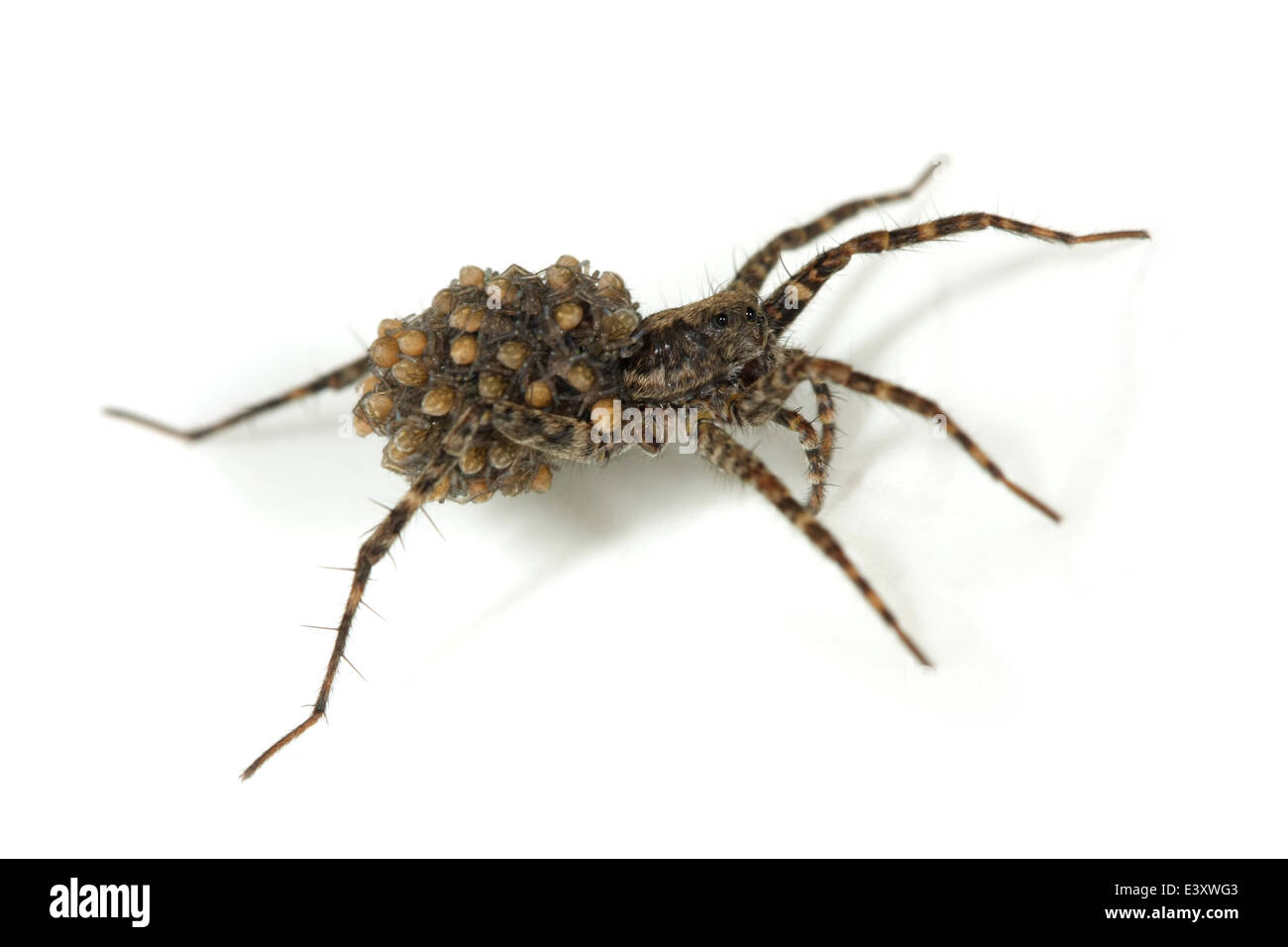 Pardosa amentata (Spotted wolf spider), part of the family Lycosidae. Carrying its spiderlings. Isolated on white - Stock Image