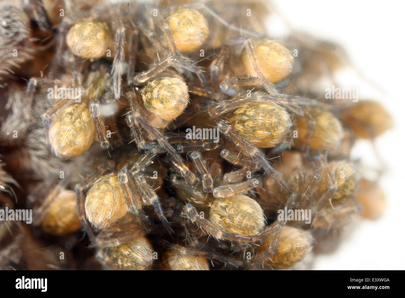Pardosa amentata (Spotted wolf spider) spiderlings on the back of their mother, part of the family Lycosidae - Wolf - Stock Image