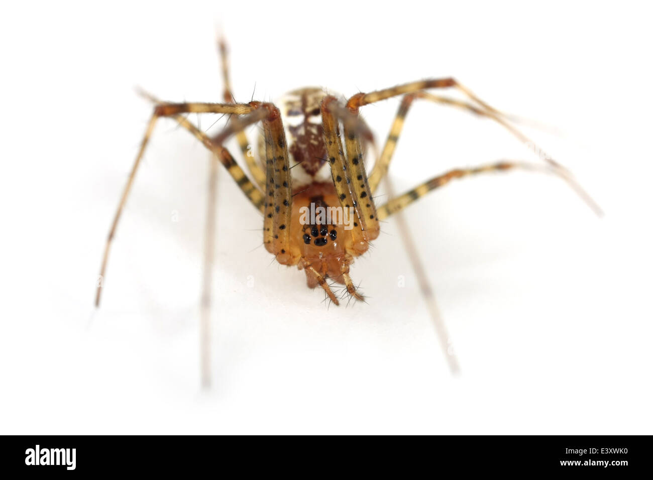 Female Pine-tree embroiderer (Pityohyphantes phrygianus) spider, part of the family Linyphiidae - Sheetweb weavers. Stock Photo