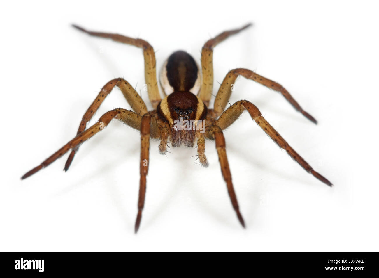 Female Dolomedes fimbriatus (Great Raft spider) part of the family Pisauridae, Nursery web spiders, isolated on - Stock Image