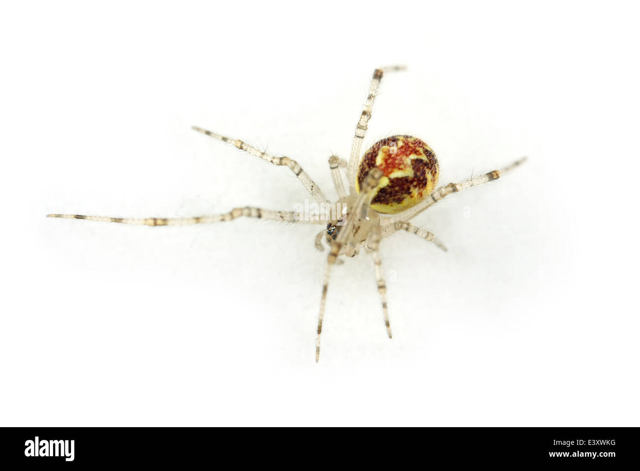 Female Theridion varians spider, part of the family  -  spiders. Isolated on white background. - Stock Image