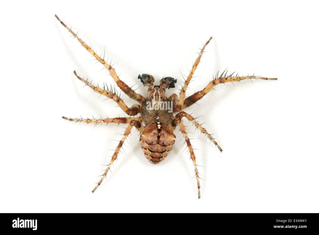 Male Gibbaranea omoeda spider, part of the family Araneidae -  orbweavers. - Stock Image