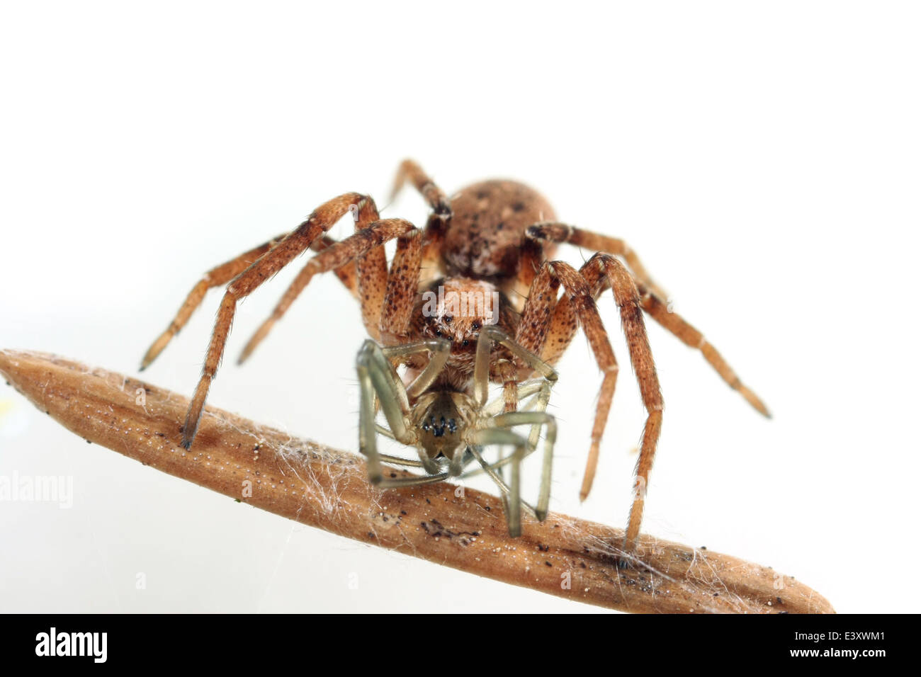 Female Philodromus sp spider, part of the family Philodromidae - Running crab spiders. Having another spider as Stock Photo