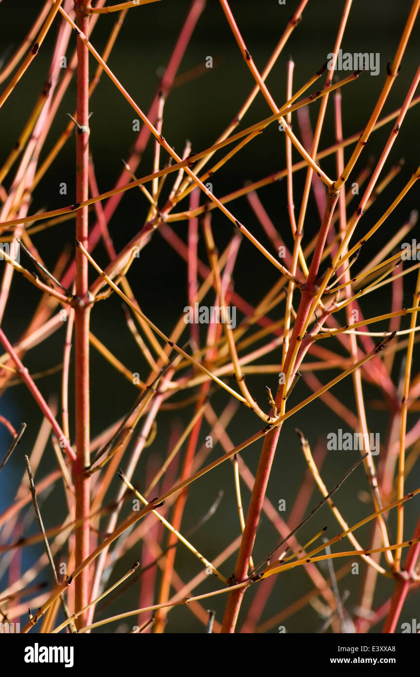 Stems of Cornus sanguinea 'Winter Flame'. Sir Harold Hillier Gardens. - Stock Image