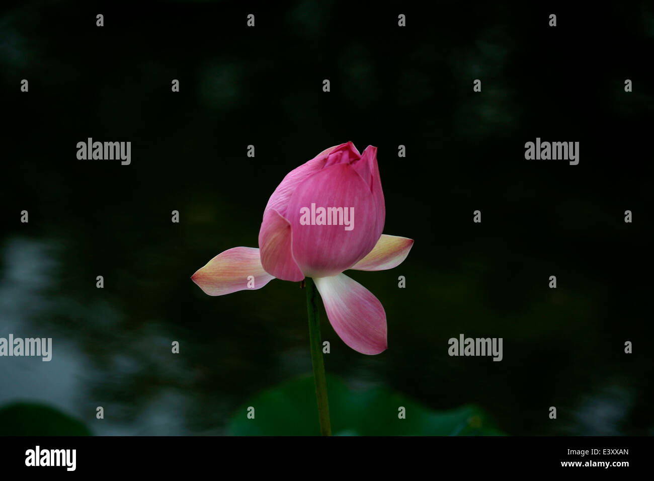 Indian Flower Names Stock Photos Indian Flower Names Stock Images
