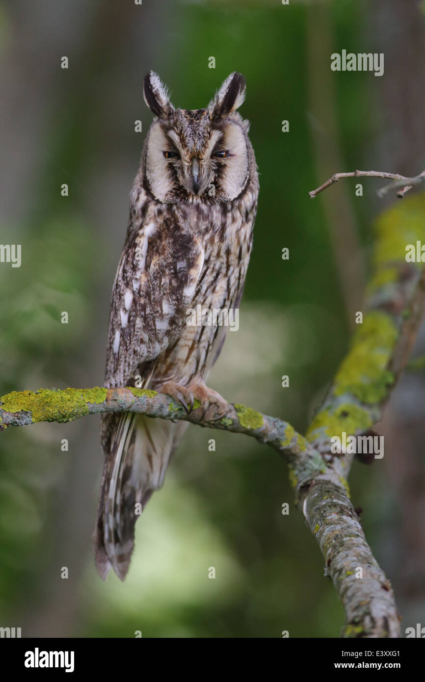 Portrait of Long-eared Owl (Asio otus), Europe - Stock Image
