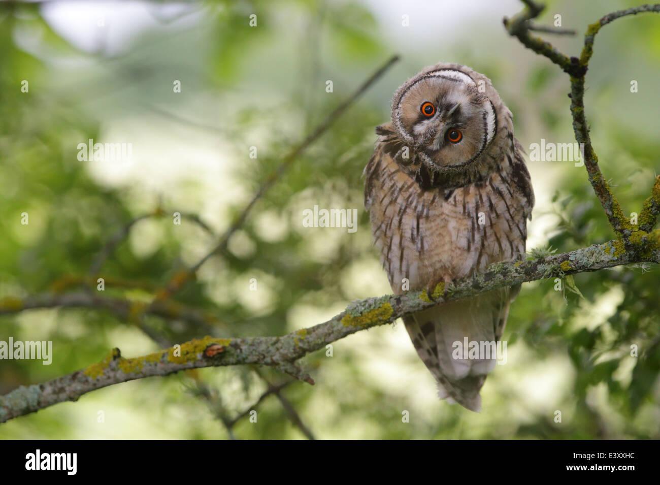 Long-eared Owl twisting his head, Europe - Stock Image